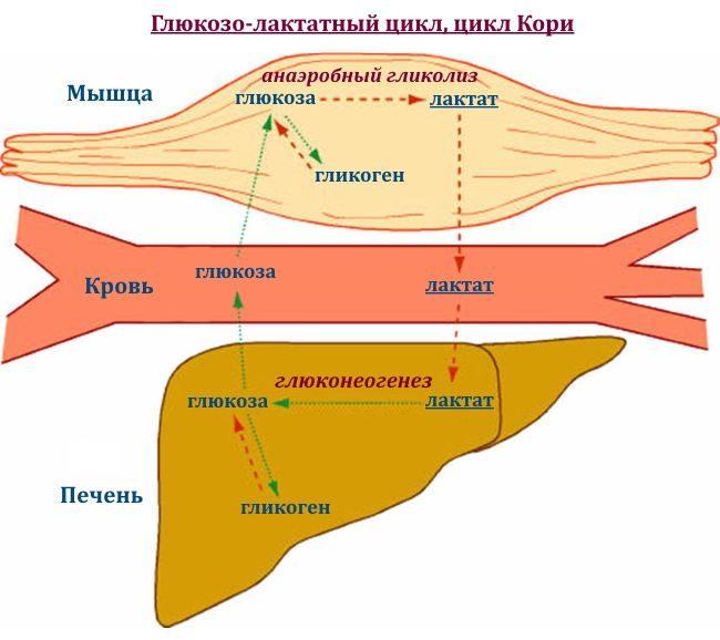 Нейтрализация молочной кислоты. Молочная кислота в мышцах после тренировки